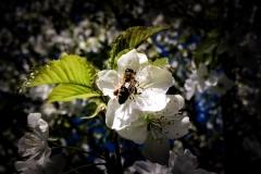 Méhéscseresznyefa
